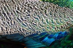 Pluma del Peafowl verde Imagen de archivo libre de regalías
