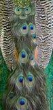 Pluma del Peafowl verde Foto de archivo libre de regalías