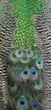Pluma del Peafowl verde Imágenes de archivo libres de regalías
