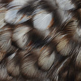 Pluma del pollo Foto de archivo libre de regalías