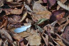 Pluma en las hojas marrones de la caída del otoño Fotografía de archivo