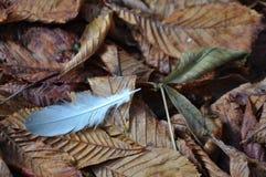 Pluma en las hojas marrones de la caída del otoño Foto de archivo