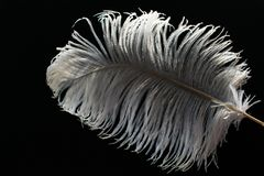 Pluma grande blanca de la avestruz en fondo negro imagen de archivo libre de regalías