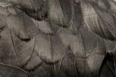 Pluma negra Foto de archivo libre de regalías