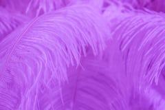 Pluma púrpura del pájaro para el fondo Fotos de archivo libres de regalías