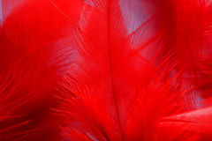 Pluma roja Imagen de archivo libre de regalías