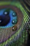 Pluma y gotitas del pavo real Imagen de archivo