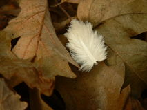 Pluma y hojas Imagen de archivo libre de regalías