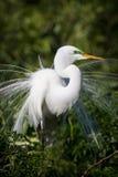 Plumage размножения расширенный на большой белый egret стоковое изображение