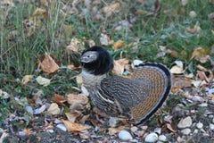 сопрягая plumage Стоковая Фотография RF
