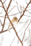 Plumage américain sauvage de l'hiver de Goldfinch dans la neige image stock