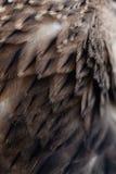 Plumage background. Of eagle closeup Royalty Free Stock Image