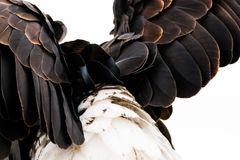 Plumage, Bald Eagle Stock Image