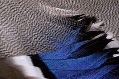 Plumage d'un canard photographie stock libre de droits