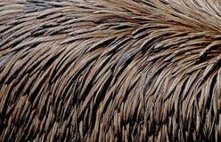 Plumage d'un oiseau d'émeu Photographie stock