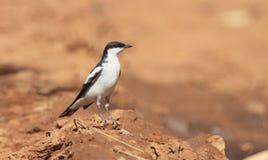 plumage de accouplement masculin Blanc-à ailes de Triller avec l'espace de copie photographie stock