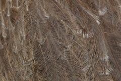 Plumage du pennata de nandou du nandou de Darwin photo libre de droits