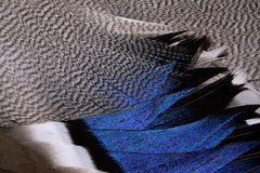 Plumage of a duck Royalty Free Stock Photography