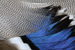 Plumage of a duck Stock Images