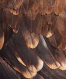 Plumage of a golden eagle Stock Images