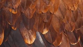 Plumage of a golden eagle Royalty Free Stock Photo