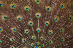 Plumage of the Indian peafowl Pavo cristatus. Also known as the blue peafowl royalty free stock image