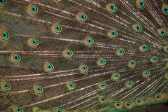 Plumage of the Indian peafowl (Pavo cristatus). Stock Photo