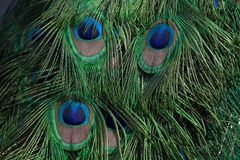 Plumage of the Indian peafowl (Pavo cristatus). Plumage of the Indian peafowl (Pavo cristatus), also known as the blue peafowl. Wild life animal royalty free stock photography