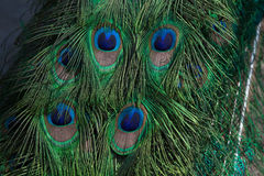 Plumage of the Indian peafowl (Pavo cristatus). Royalty Free Stock Photography
