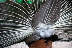 Plumage of the Indian peafowl Pavo cristatus. Stock Images