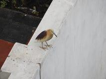 Plumage indien d'élevage de héron d'étang Photos libres de droits