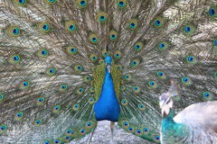 Plumage of a peacock  Stock Images