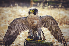 Plumage, peregrine falcon with open wings , bird of high speed Stock Photo
