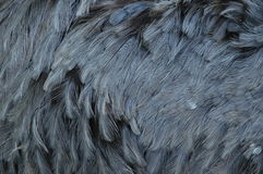 Plumage of a rhea. Closeup of grey rhea feathers Stock Photos