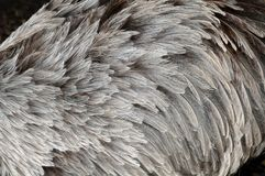 Plumage of a rhea. Soft gray feathers of a rhea, a flightless bird Stock Photography