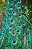 Plumage vert et bleu de paon photographie stock