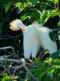 Plumagem da criação de animais do Egret de gado Foto de Stock Royalty Free
