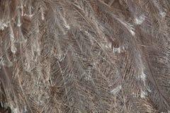 Plumagem do Darwin& x27; ema de s & x28; Pennata& x29 do ema; imagem de stock