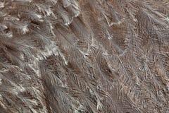 Plumagem do ema de Darwin (pennata do ema) fotos de stock