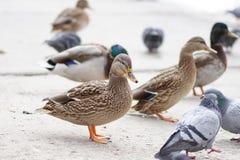 Plumagem dos animais selvagens da fauna da natureza da galinha do pássaro do pato foto de stock royalty free