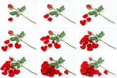 Plumaison outre des pétales de rose tout en comptant pour décider Photo libre de droits