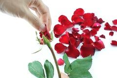 Plumaison outre des pétales de rose tout en comptant pour décider Images stock