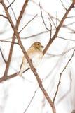 Plumaje americano salvaje del invierno del Goldfinch en la nieve Imagen de archivo