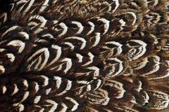 Plumaje del ala del faisán imagenes de archivo