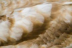 Plumaje del cisne Fotografía de archivo