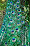 Plumaje verde y azul del pavo real Fotografía de archivo