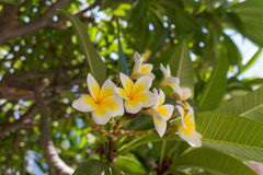 Plumaria & x28 άνθησης monoi& x29  λουλούδια Στοκ φωτογραφίες με δικαίωμα ελεύθερης χρήσης