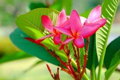 Plumaria пинка Agroup Стоковые Изображения RF