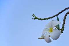 Plumaria Στοκ Φωτογραφίες