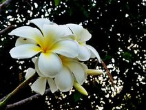 Plumaria Royaltyfria Bilder